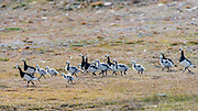 Adult barnacle geese (Branta leucopsis) with their chicks close to longyearbyen, Svalbard, Norway.