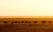 Herd of Wildebeest walking in Amboseli National Park, Kenya