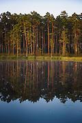 The mirror like surface of lake Purezers as sunrise shines over scot's pines (Pinus silvestris) growing on its coasts, near Puikule, Latvia Ⓒ Davis Ulands | davisulands.com