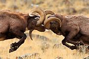 Bighorn Sheep near Gardiner Montana.