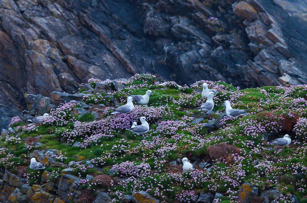 Fulmar (Fulmarus glacialis) Butt of Lewis. Lewis island. Outer Hebrides. Scotland, UK