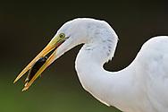 Silberreiher (Ardea alba) im Norden des Pantanals, Transpantaneira, Brasilien<br /> <br /> Great egret in the northern Pantanal, Tranpantaneira, Brazil