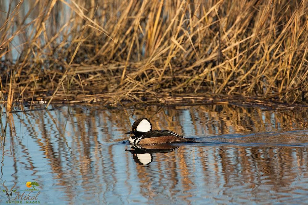 Swimming Male Hooded merganser
