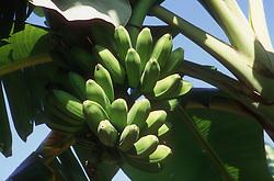 Bananas growing in tree in organic allotment or organoponico in Havana; Cuba,