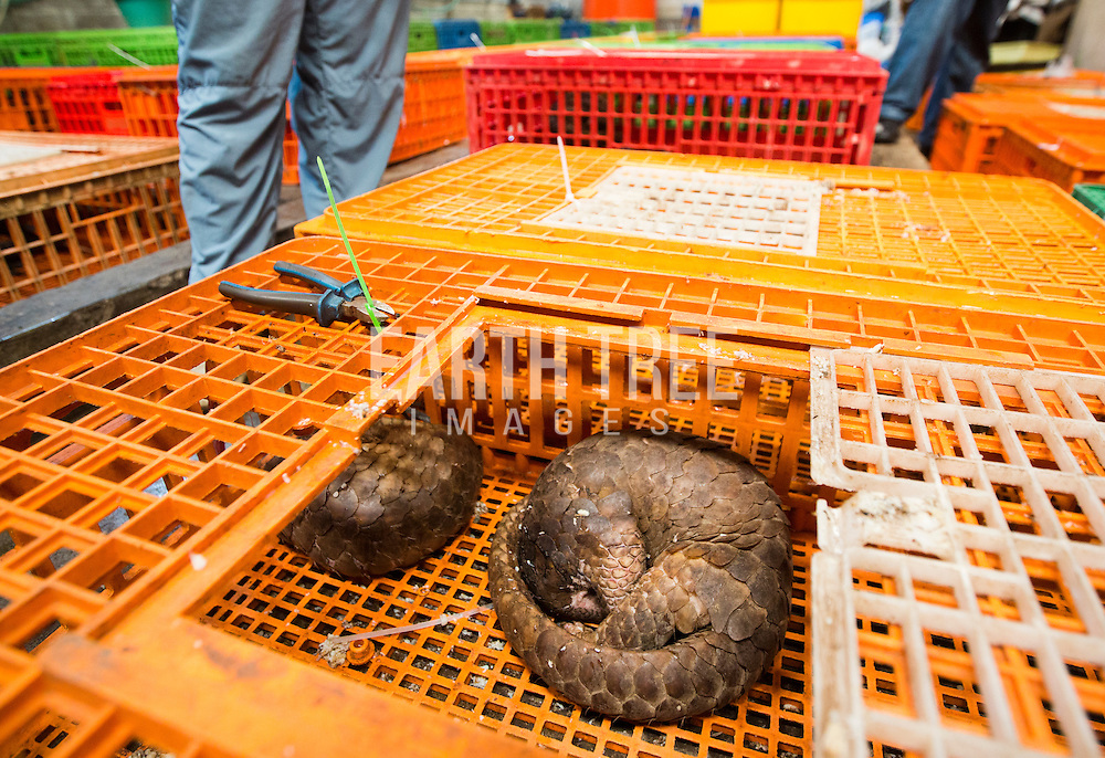 Five tons of frozen pangolin, 77 kilograms of pangolin scales, and 96 live pangolins, Indonesia. Photo: Paul Hilton / Earth Tree images wildlife trade, wildlife markets, wildlife crime, wildlife market, pangpolins,