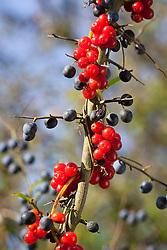Black Bryony berries growing in an autumn hedgerow with sloes (Blackthorn). Tamus communis, Prunus spinosa