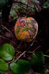 Fall Leaf on Fragrance Lake Trail, Larrabee State Park, Bellingham, Washington, US