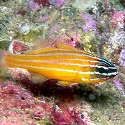 Silty Cardinalfish inhabit sheltered rocky areas and reefs. Picture taken Andaman Sea, Thailand.