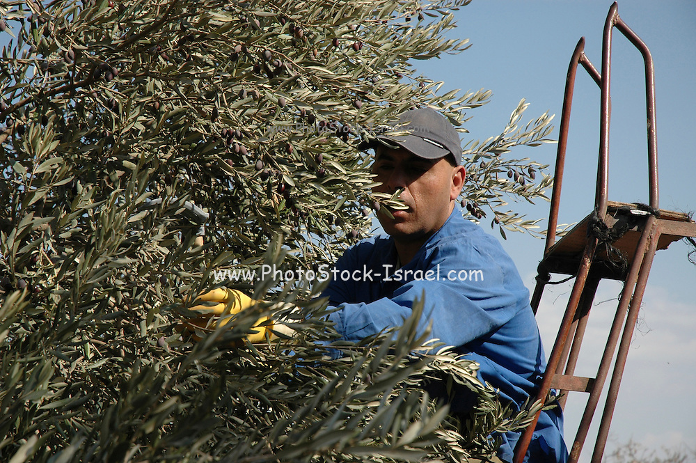 Israel, Galilee, Mount Tabour Picking olives