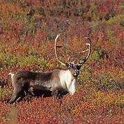 Barren Ground Caribou bull on autumn-hued tundra. Alaska