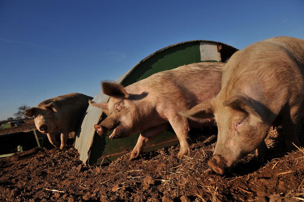 Pigs frolic on a Norfolk farm.