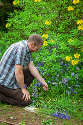 Deadheading invasive Spanish bluebells before they seed everywhere.  Hyacinthoides hispanica