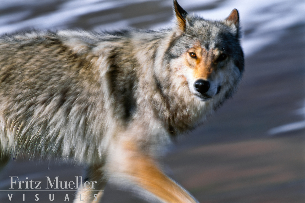 Young wild wolf running in Tomstone Territorial Park, Yukon