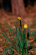 A87DG4 Wild woodland daffodils Suffolk England