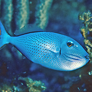 Sargassum Triggerfish generally inhabit low profile sections of outer reefs, usually below 80 ft. in Tropical West Atlantic; picture taken Belize.