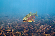 Rainbow Trout<br /> <br /> Isaac Szabo/Engbretson Underwater Photo