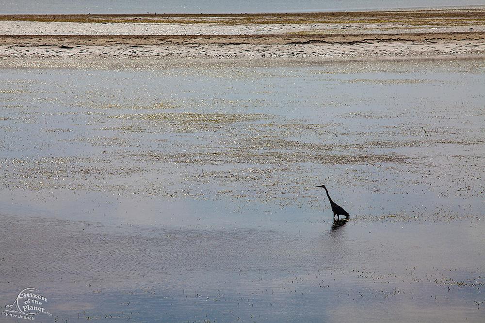 Great Blue Heron in mudflats, Bolsa Chica Ecological Reserve, Orange County, California, USA