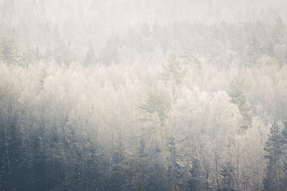 Brightly illuminated frost covered tree tops of boreal forest in sunny winter day morning, Gauja National Park (Gaujas Nacionālais parks), Latvia Ⓒ Davis Ulands   davisulands.com