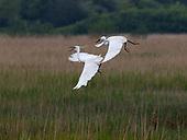 Egrets on Dingle Marsh Dunwich June 2021