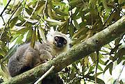 Madagascar, Amber National Park. Sanford's Brown Lemur (Eulemur sanfordi) in a tree
