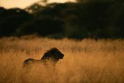 Lion in Long grass<br />Panthera leo<br />Okavango Delta.  BOTSWANA  Africa
