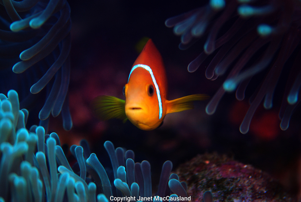 A Clownfish (Blackfoot Anemonefish) hides amongst the protective tentacles of an Anemone in the Maldives. Clownfish secrete a protective coating allowing them to safely exist within the arms of their otherwise toxic anemone host.