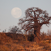 Baobab and moon. Mapungubwe National Park and World Heritage Site, Leokwe Camp, South Africa, September 2009, Organization for Tropical Studies Trip.