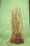 drying up tall grass with soil