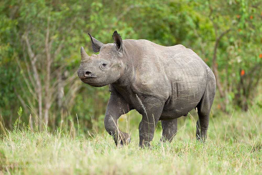 A female Black Rhinoceros (Diceros bicornis) moves through the African bush.  Critically endangered and listed on the IUCN Red List, sighting Black Rhinos in the wild at close quarters is a uncommon experience