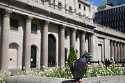 Pigeon at the Bank of England in the City of London financial district, which is virtually deserted due to the Coronavirus outbreak as lockdown continues and people observe the stay at home message in the capital on 12th May 2020 in London, England, United Kingdom. Coronavirus or Covid-19 is a new respiratory illness that has not previously been seen in humans. While much or Europe has been placed into lockdown, the UK government has now announced a slight relaxation of the stringent rules as part of their long term strategy, and in particular social distancing.