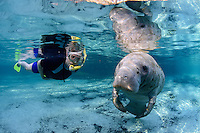 A female snorkeler politely observes an interested female manatee at Three Sisters Springs. Passive observation such as this allows for a once in a lifetime encounter.This manatee is curious and approached us showing keen interest in the photographer. It is late in the manatee season and the water is clear and blue in the springs. Crystal River National Wildlife Refuge, Kings Bay, Crystal River, Citrus County, Florida USA. Florida manatee, Trichechus manatus latirostris, a subspecies of the West Indian manatee