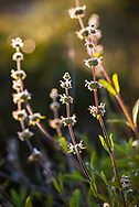Wildflowers in evening sunlight, in the backcountry meadows of Fort Ord National Monument in Monterey County, California
