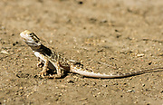 The central bearded dragon (Pogona vitticeps), also known as the inland bearded dragon, is a species of agamid lizard found in a wide range of arid to semiarid regions of eastern and central Australia.