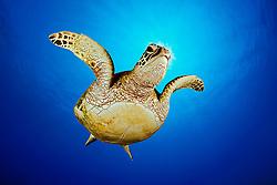 green sea turtle, juvenile, Chelonia mydas, Hanauma Bay Nature Preserve, Oahu, Hawaii, USA, Pacific Ocean (dc)