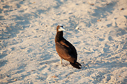 A young Brown Booby (Sula leucogaster) rests on the beach at Adele Island, a major bird rookery and nesting site.