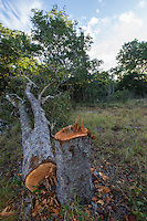 Illegal logging in miombo woodland, Dondo Forest, Beira, Sofala Province, Mozambique