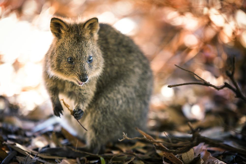 Quokka at Rottnest island, Western Australia