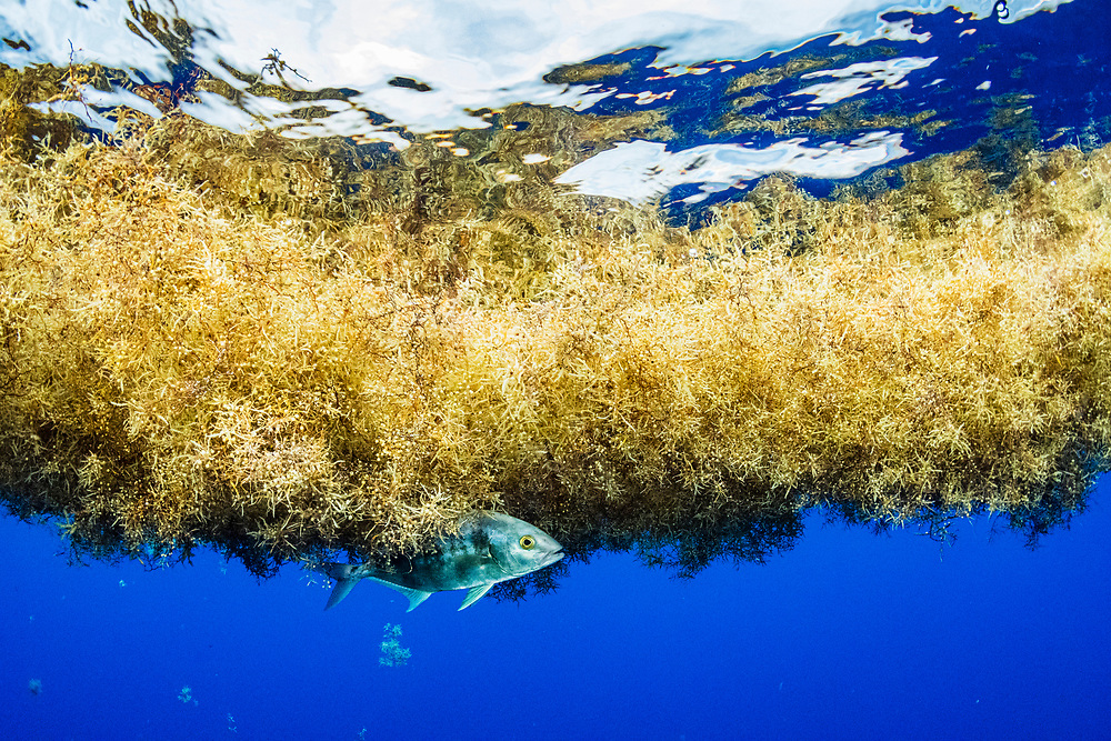A jack fish (eriola dumerili) takes shelter under a matt of sargassum in the Sargasso Sea.