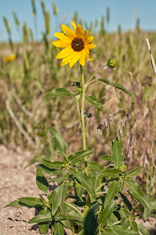 These squat, fuzzy sunflowers throw great splashes of yellow across the Pawnee National grasslands in the summertime.