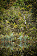 Forest and flax reflecting in the still waters of Lake Wilkie, Catlins, New Zealand