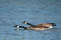 Two Canada Geese, Branta canadensis, swim on a lake in the Riparian Preserve at Water Ranch, Gilbert, Arizona