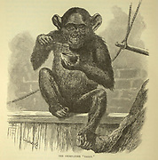 The Chimpanzee Sally From the book ' Royal Natural History ' Volume 1 Edited by  Richard Lydekker, Published in London by Frederick Warne & Co in 1893-1894