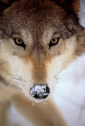 Image portrait of a wild gray wolf (Canis lupus) in Montana, property released by Randy Wells