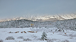 Elk Herd at sunrise during the rut in Glacier National Park. A hole in the cloulds reveal the Lewis Range on the north side of St. Mary Lake while a bull elk watches over his harem.