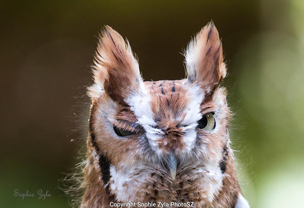 Eastern Screech Owl Winks, Kokopelli APCH