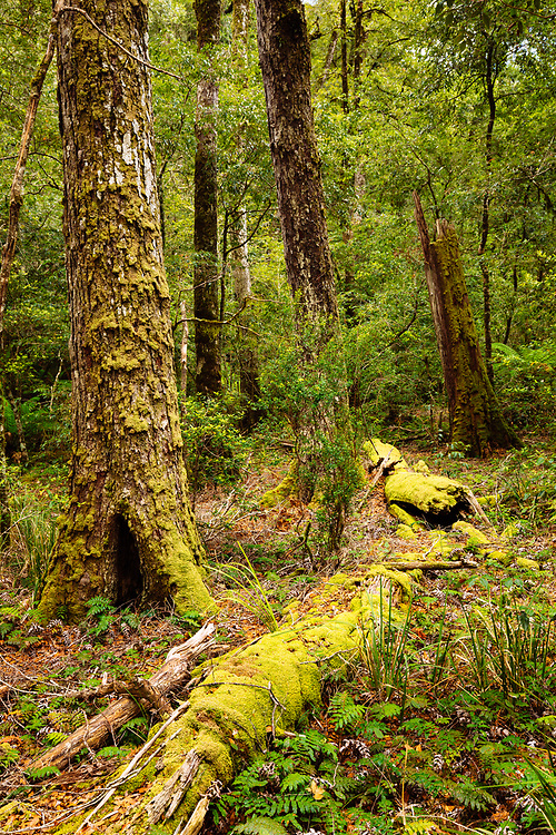 Temperate rainforest at 1400m elevation within Barrington Tops National Park. This is the southern limit of this type of Antarctic Beech forest in Australia.