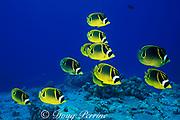 racoon butterflyfish,<br /> Chaetodon lunula,<br /> Kona, Hawaii, USA ( Pacific )