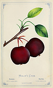 Hyslop Crabapple [Here as Hilop's Crab] Apple Variety from Dewey's Pocket Series ' The nurseryman's pocket specimen book : colored from nature : fruits, flowers, ornamental trees, shrubs, roses, &c by Dewey, D. M. (Dellon Marcus), 1819-1889, publisher; Mason, S.F Published in Rochester, NY by D.M. Dewey in 1872