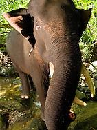 Playful view of a male Sumatran elephant (Elephas maximus sumatranus) in its native forest habitat.