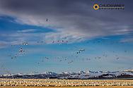 Snow geese feeding in barley field stubble near Freezeout Lake WMA near Choteau, Montana, USA